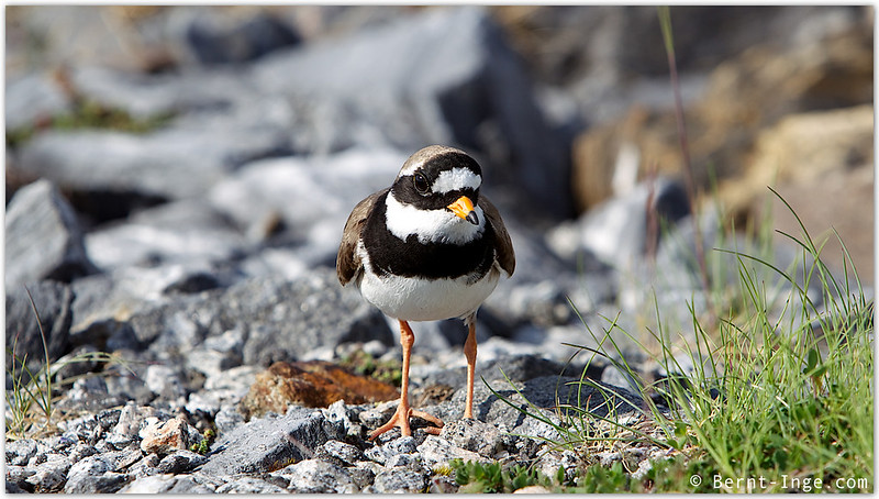 Sandlo - Common Ringed Plover