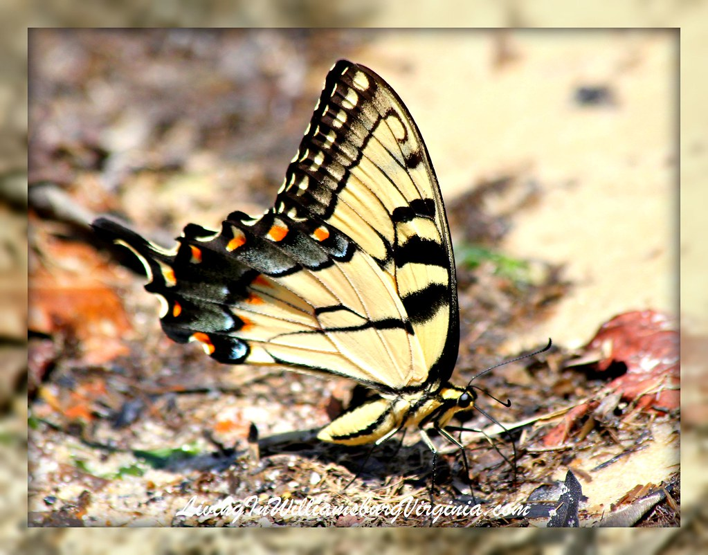 Yellow Swallowtail Butterfly On The Beach