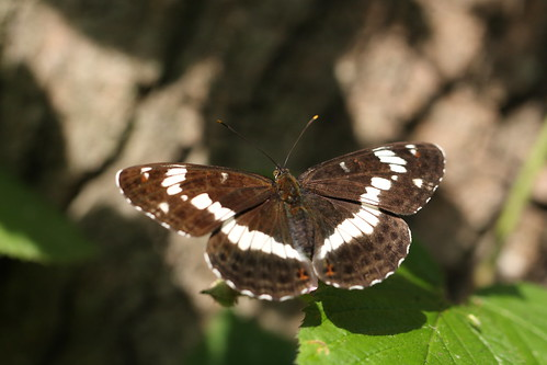 moth51