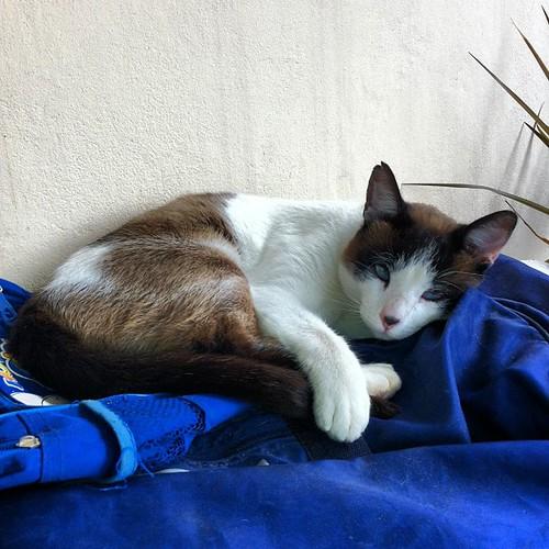 Bial, o gato folgado é visitante, mas parece de casa! #saltodepirapora #saopaulo #brazil #gatos #cats