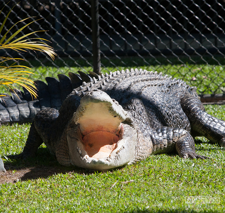 One of Australia Zoo's largest resident Crocs.