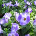 Small photo of Torenia Torrie Blue