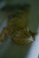 Mossy Leaf-tailed Gecko (Uroplatus sikorae) (captive specimen)