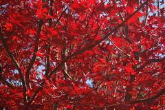 shrub(0.0), flower(0.0), rowan(0.0), branch(1.0), leaf(1.0), tree(1.0), red(1.0), plant(1.0), maple leaf(1.0), autumn(1.0),