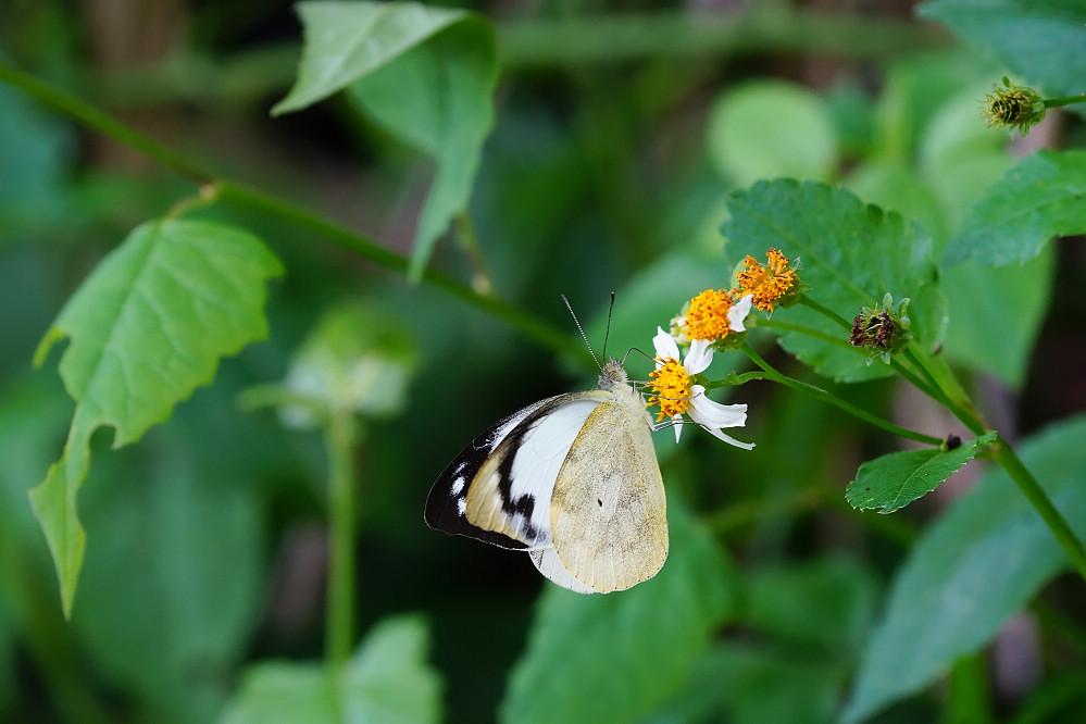 尖粉蝶屬雲紋尖粉蝶-2