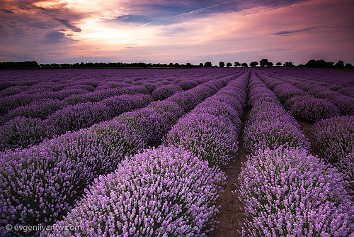 summer sky plant flower nature field purple lavender agriculture dramaticsky cloudscape scented smelling landscaped herbalmedicine colorimage