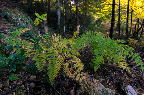fern woods autum greece pavliani oiti
