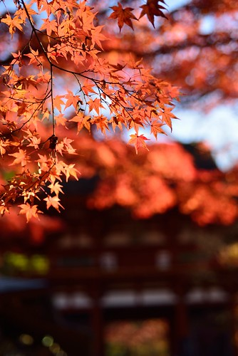 Autumnal leaves of Muro-ji temple No.4.