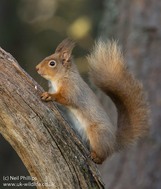 red squirrel-4