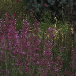 Agastache cana 'Heather Queen' and Colorado Blue Spruce, Picea pungens