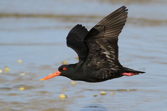 Variable Oystercatcher