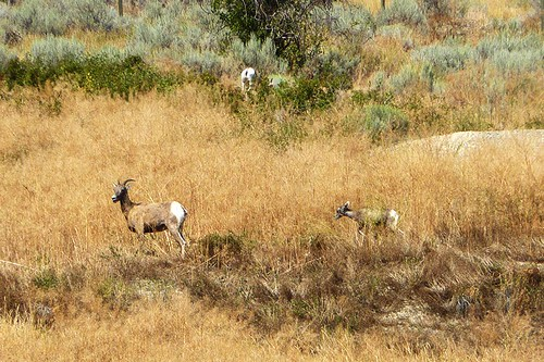 Bighorn Sheep in Spences Bridge, Thompson Okanagan, British Columbia, Canada