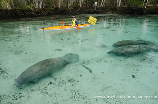 Watching the manatees at 3 Sisters Spring on the Crystal River in FL. Sunday 01.19.14