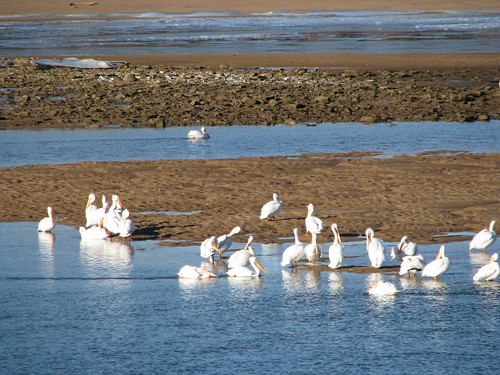 White pelicans on a sandbar in the Arkansas River at Tulsa, January 2014