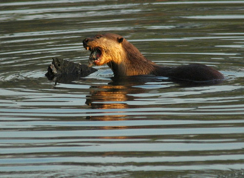 Smooth-coated Sea Otter (Lutrogale perspicillata) having breakfast, Sungei Buloh Wetland Reserve, Singapore