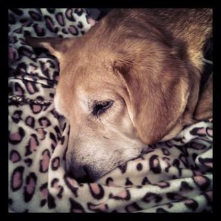 Best $2.88 ever spent! Sophie loves her new pink #cheetah #blanket from Wally World #dogstagram #instadog #Rescued #houndmix #adoptdontshop #sleepy