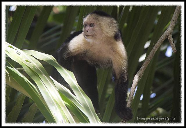 Parque Nacional Cahuita, Mono Capuchino
