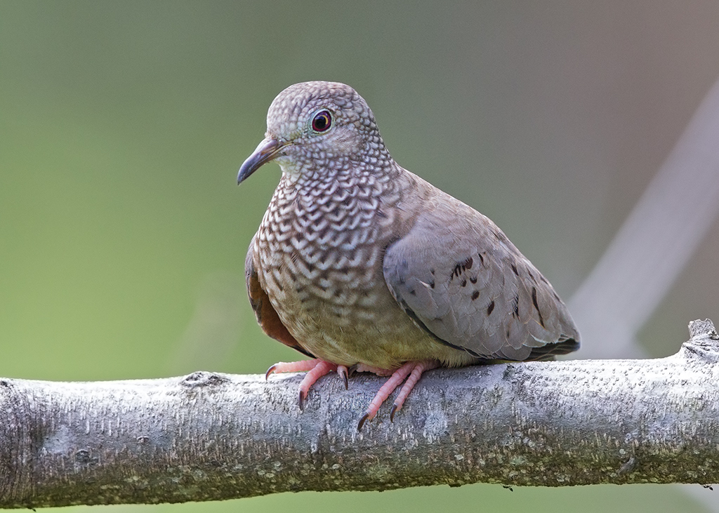 Common Ground Dove 2014-02-02