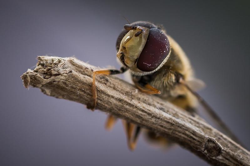 Le mie macro ( con Sigma 105 f/2.8 ) : insetti e non solo ... 13472992353_8c9679e425_c