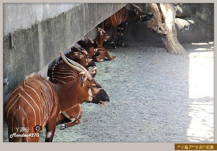 木柵動物園(圓仔)53