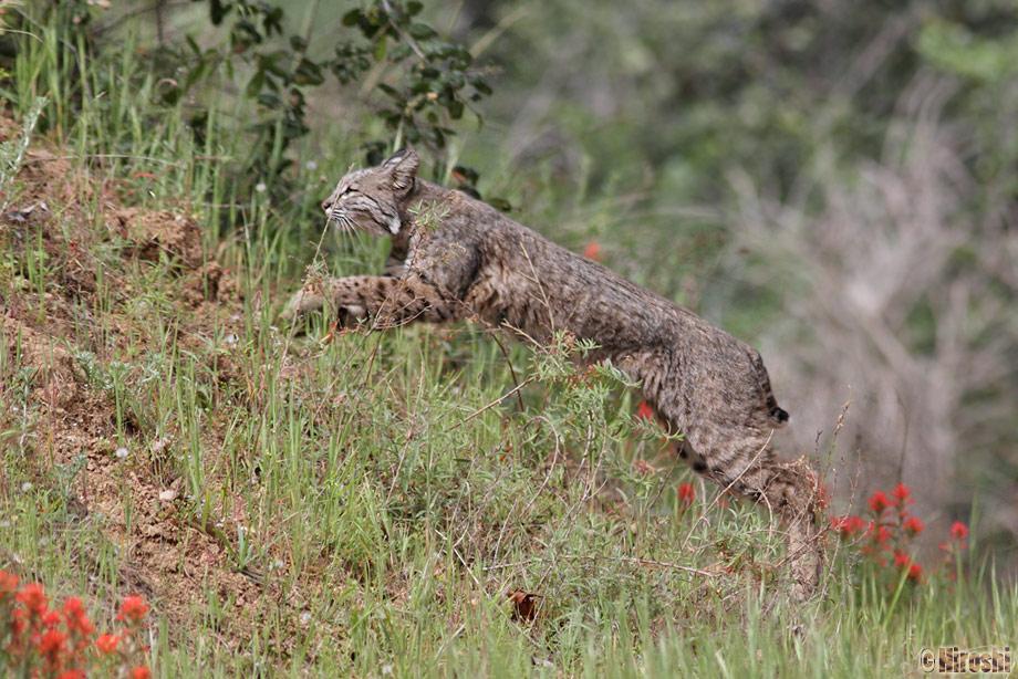 Bobcat-041014-5