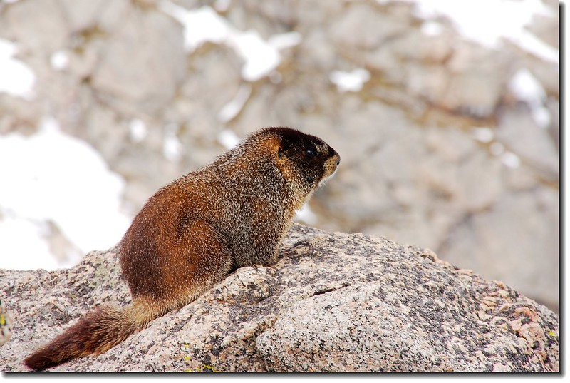 Marmot on Mount Evans' summit