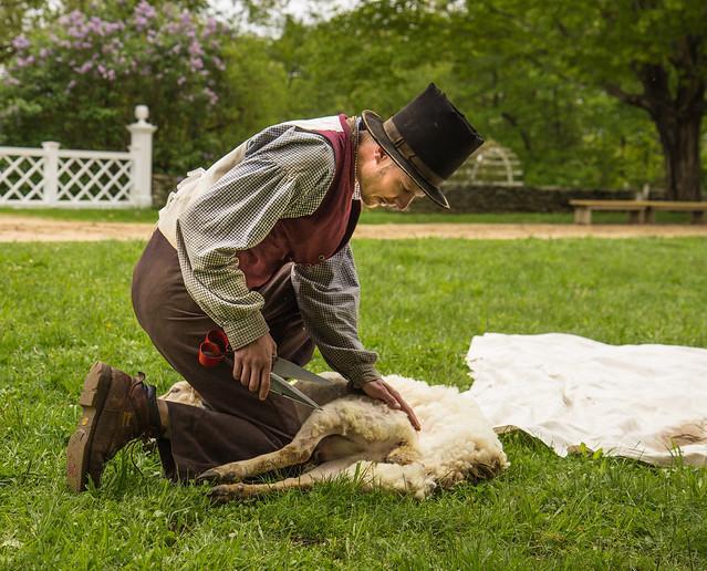 Shearing Sheep II