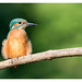 Martin pêcheur (Alcedo atthis) Kingfisher by Denis.R