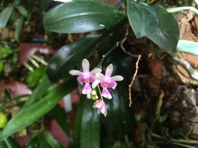 Phalaenopsis deliciosa 19046624393_9ef5c586a7_z
