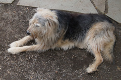animal sports(0.0), hound(0.0), sports(0.0), street dog(0.0), cairn terrier(0.0), dog breed(1.0), animal(1.0), berger picard(1.0), dog(1.0), pet(1.0), norfolk terrier(1.0), glen of imaal terrier(1.0), mammal(1.0), irish wolfhound(1.0), catalan sheepdog(1.0), irish soft-coated wheaten terrier(1.0), terrier(1.0),
