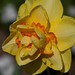 Another Daffodil?