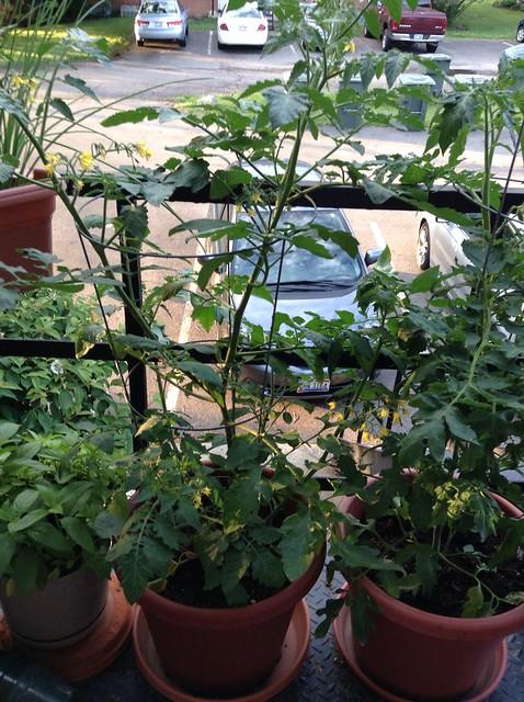 tomato planting in Porch Garden by annaoj