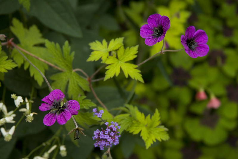 geranium ann folkard 2