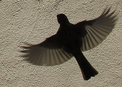 Finch - flying towards my feeder.