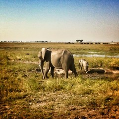 We crossed the border into Botswana today and saw at least 300 elephants at in Chobe National Park. Amazing. #botswana #animals #elephants