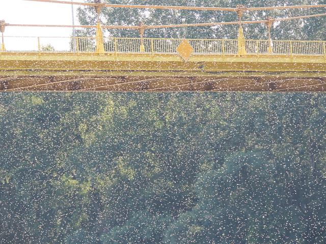 mayfly swarm crossing the bridge