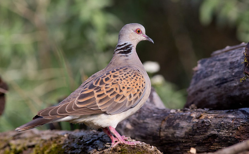Turtle Dove [one of my 'target' species for this trip]