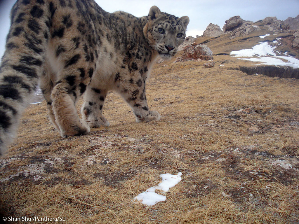 Enjoy our pic of the day of a gorgeous snow leopard peering back at a camera trap in Soujia, China. This image was captured near one of Panthera's main study sites where, in collaboration w/ local NGO, Shan Shui, & the Snow Leopard Trust, camera traps are placed to monitor snow leopard behavior & assess population numbers in the area. Learn more about Panthera's Snow Leopard Conservation program @ bit.ly/986xYd