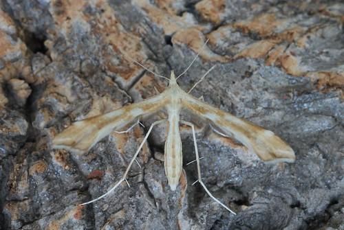 Yarrow Plume (Gillmeria (Platyptilia) pallidactyla)