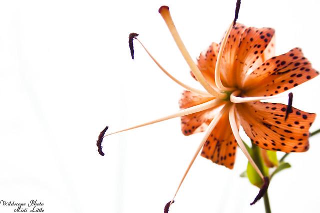 lilies19