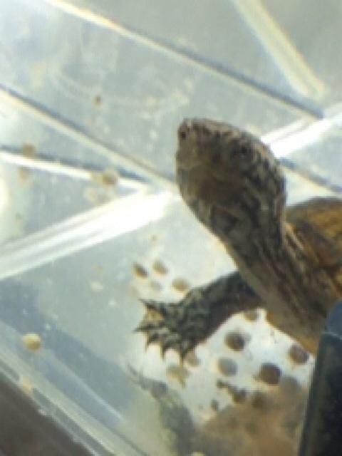 2011/5/20 スジクビヒメニオイガメ(シュウマイ)我が家にやってきた♪