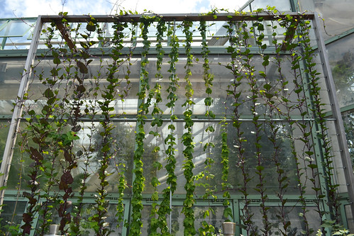 Malabar Spinach and Hop Vines