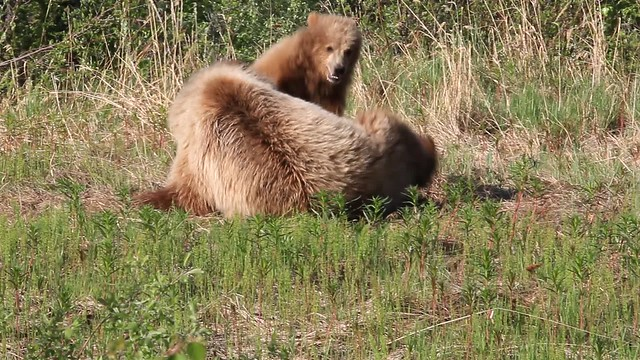 Grizzly Sow & Yearling Cub Playing 2