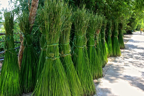 longer stalks of what we saw drying