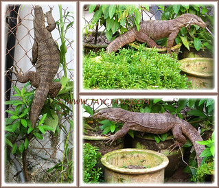 A collage of Monitor Lizard (Varanus bengalensis) that loitered at the back-lane, Aug 10 2013