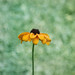 Black Eyed Susan by KimHojnackiPhotography