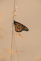 Monarch-43069.jpg by Mully410 * Images