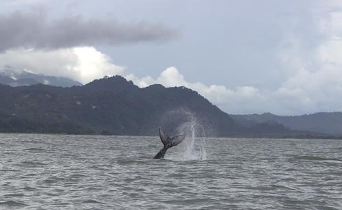 Ballenas del Festival de Ballenas y Delfines - 2013