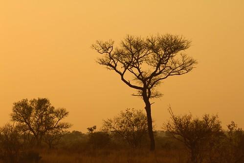 africa naturaleza sun sol nature sunrise southafrica amanecer afrika krugernationalpark mpumalanga kruger suidafrika sudáfrica tragelaphusstrepsiceros