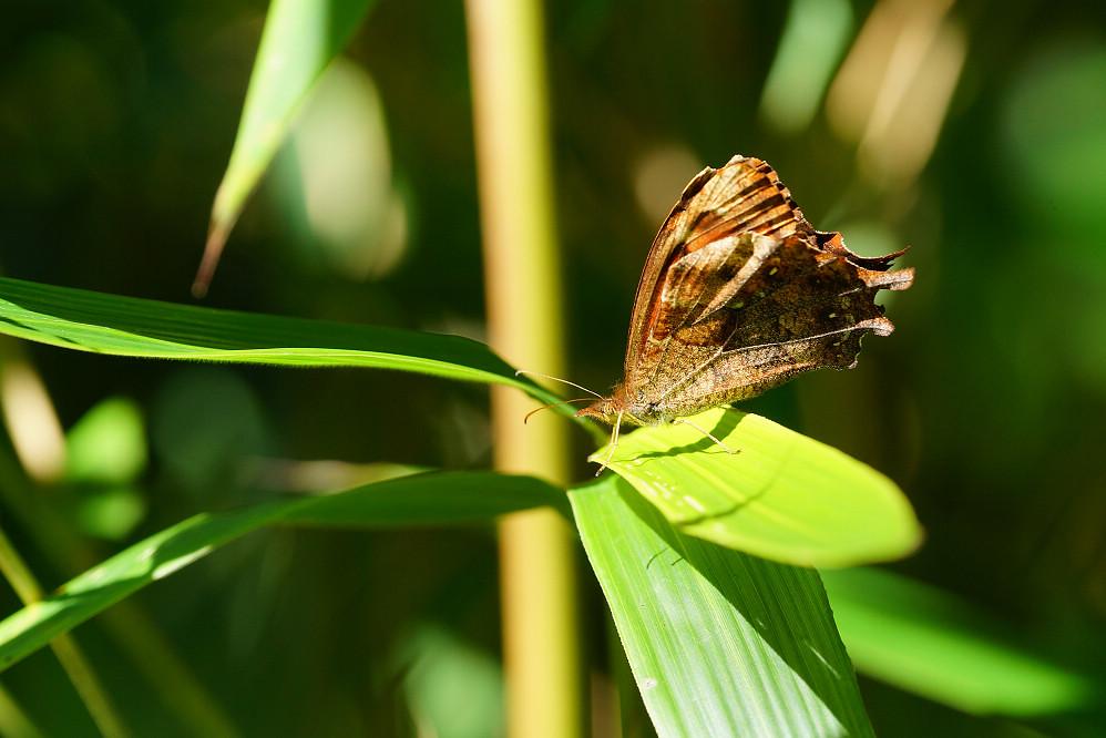 南美蛺蝶 -4